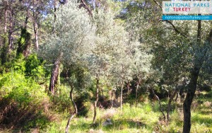 wild_olive_trees_in_forest_mugla_turkey